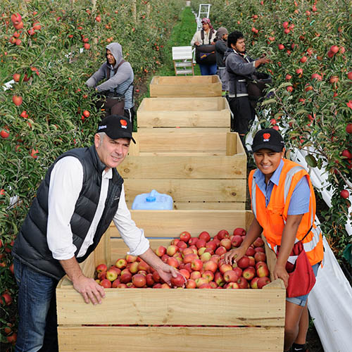 New Zealand Plumac apple harvest